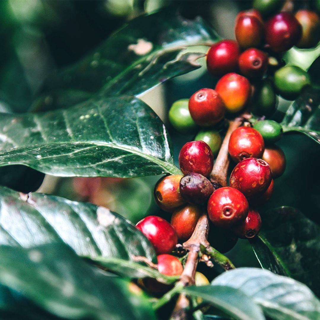 いろんなコーヒーがあるけれど、 コーヒー豆の原種は、たった3種類。