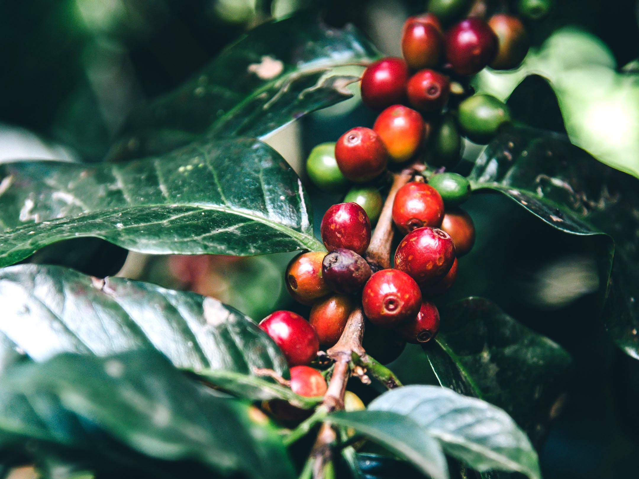 いろんなコーヒーがあるけれど、コーヒー豆の原種は、たった3種類。